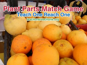 Plant Parts Kitchen Match Game – Teach One Reach One